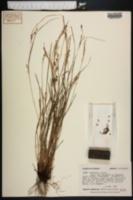 Carex amblyorhyncha image
