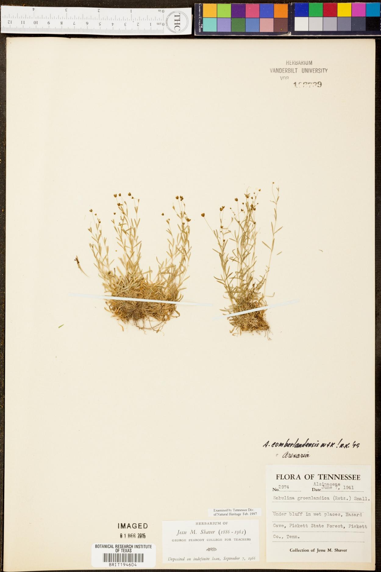 Sabulina groenlandica image