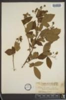 Image of Rubus lucidus