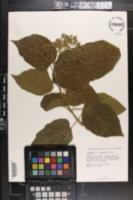 Image of Premna odorata