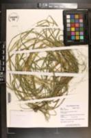 Image of Glyceria laxa