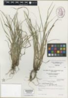 Carex calcifugens image