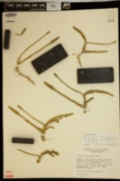 Lycopodiella subappressa image