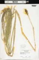Image of Panicum amarulum