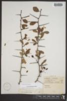 Image of Crataegus pyracantha