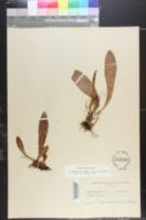 Elaphoglossum cubense image