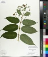 Image of Heptacodium miconioides