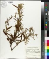 Prosopis nigra image
