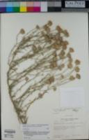 Dieteria asteroides image