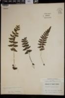 Image of Cystopteris douglasii