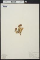 Image of Trifolium anemophilum