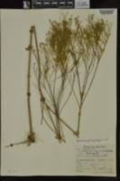 Amphiachyris dracunculoides image