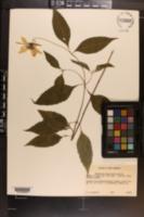 Helianthus tracheliifolius image