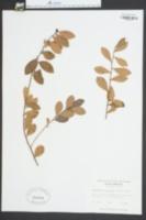 Gaylussacia brachycera image