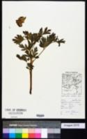 Image of Corydalis nobilis