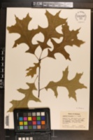 Quercus texana image