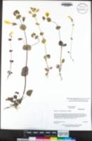 Erythranthe glaucescens image