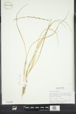 Triglochin palustris image