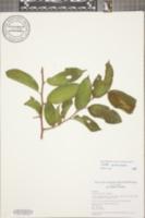 Celtis iguanaea image