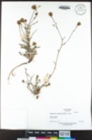 Chaenactis douglasii image