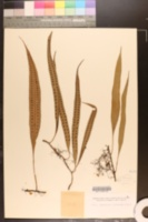 Image of Pleopeltis percussa