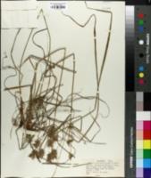 Cyperus lentiginosus image