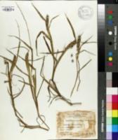 Image of Cenchrus calyculatus