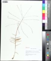Image of Gymnopogon ambiguus