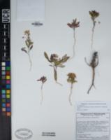 Eremothera boothii subsp. condensata image