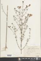 Agalinis purpurea image