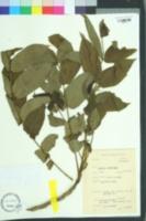 Image of Juglans ailanthifolia