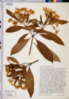 Image of Luculia intermedia