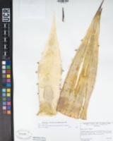 Agave simplex image