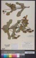 Image of Asclepias lynchiana