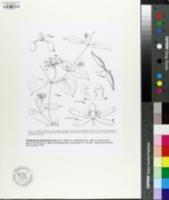 Image of Pentarrhinum abyssinicum