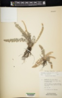 Astrolepis integerrima image