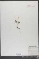 Oxalis acetosella image