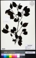 Image of Alnus formosana