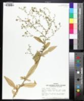 Image of Symphyotrichum greatae
