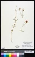Sabatia campanulata image