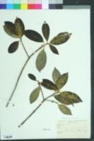 Symplocos tinctoria image