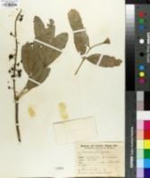 Image of Pilocarpus selloanus