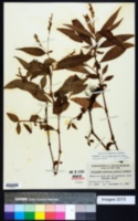 Persicaria robustior image
