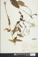 Symphyotrichum laeve image