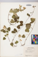 Meehania cordata image