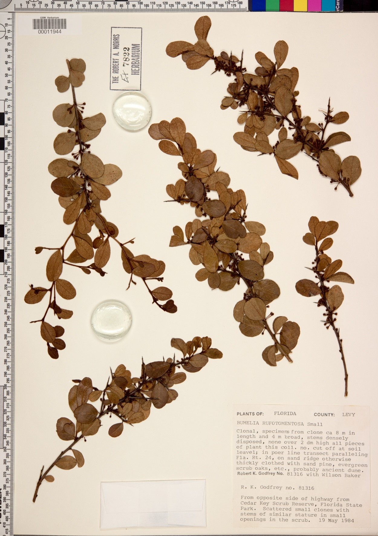 Bumelia rufotomentosa image