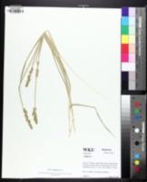 Image of Carex conjuncta