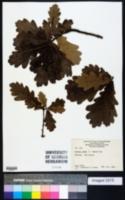 Quercus robur image