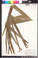 Adonidia merrillii image