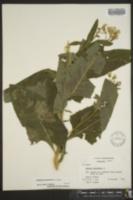 Cacalia suaveolens image